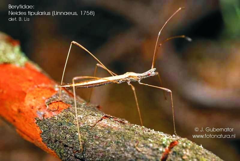 berytidae-neides-tipularius