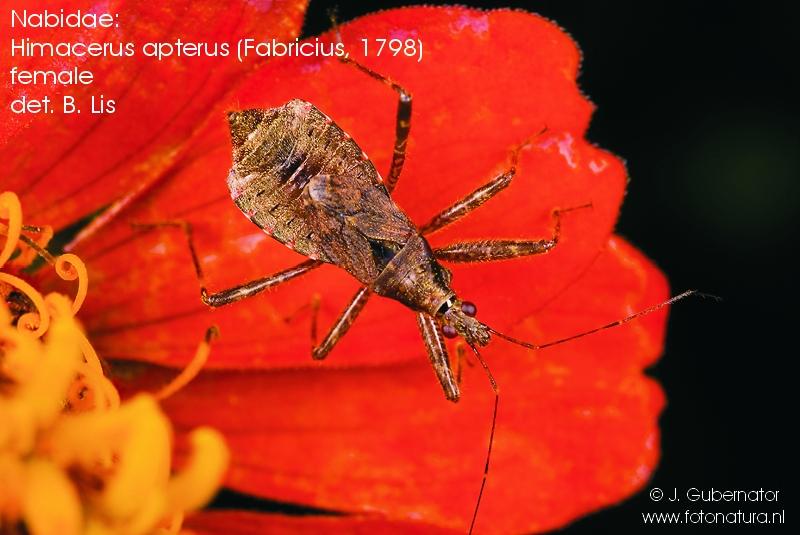 nabidae-himacerus-apterus-female