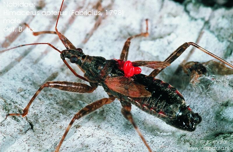 nabidae-himacerus-apterus-male