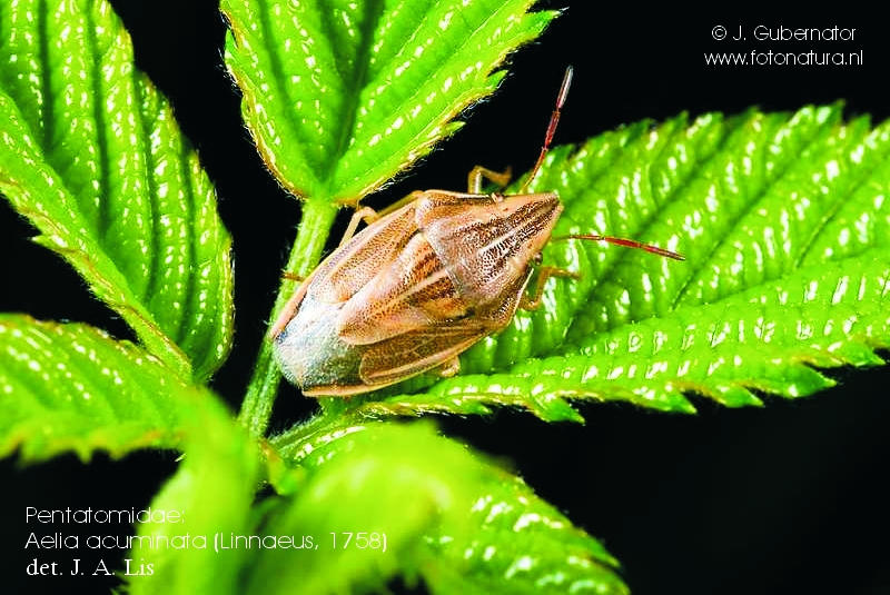 pentatomidae-aelia-acuminata-1
