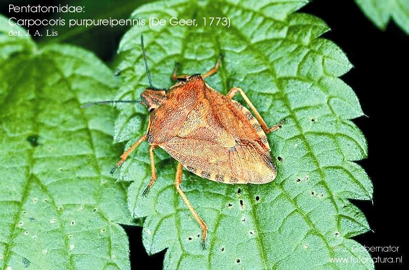 pentatomidae-carpocoris-purpureipennis