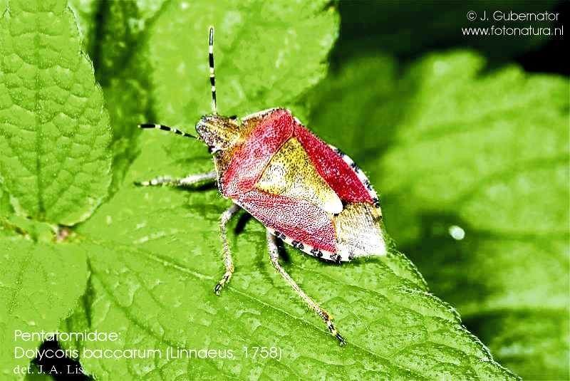 pentatomidae-dolycoris-baccarum