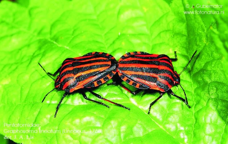 pentatomidae-graphosoma-lineatum-2