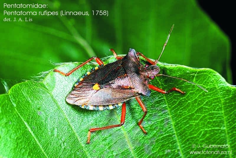 pentatomidae-pentatoma-rufipes-1
