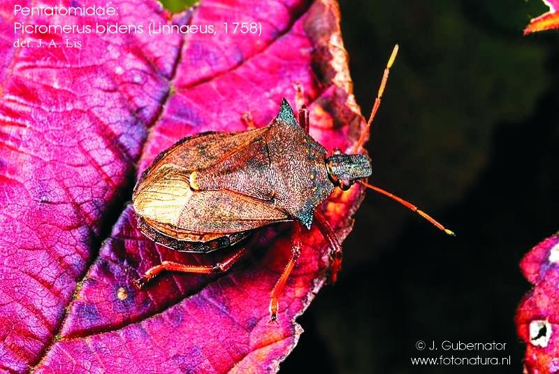 pentatomidae-picromerus-bidens