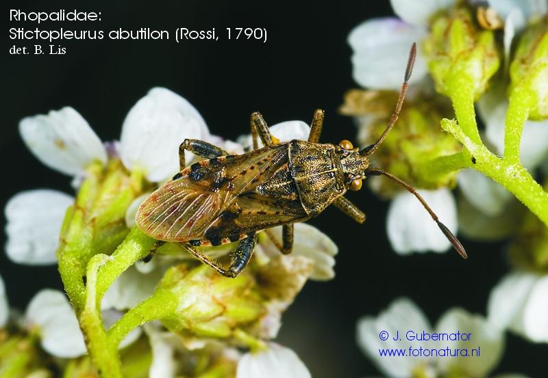 rhopalidae-stictopleutus-abutilon